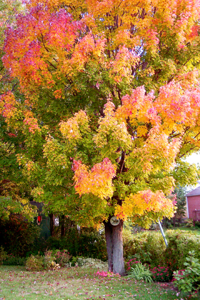 Back Yard Tree with fall colours